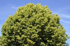 Closeup to the foliage of a tilia - stock photo