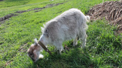 Mature goat Stock Footage