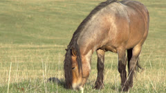 Grazing Horse HD Stock Footage