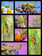 Mosaic photos of grasshoppers - stock illustration