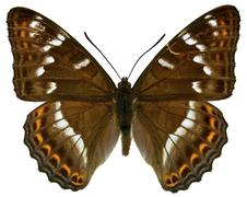 Isolated Poplar Admiral butterfly Stock Photos