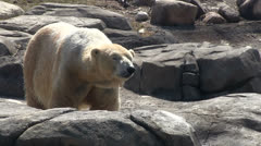 Polar bear on rocks out in wild - stock footage