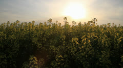 Yellow Rapeseed Field Crane Shot Summer Background HD - stock footage
