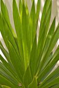 Dracaena loureiri Gagnep, Agavaceae - stock photo