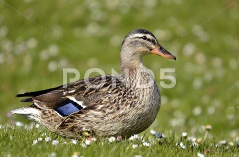 Stock photo of Female duck mallard on grass