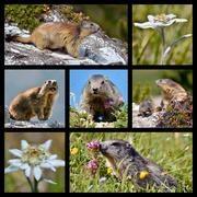 Photos mosaic Alpine marmots and edelweiss - stock illustration