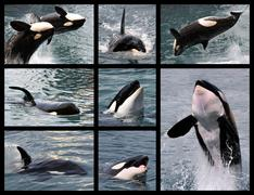 Photos mosaic of killer whales - stock illustration