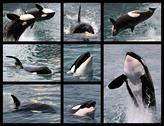 Stock Illustration of Photos mosaic of killer whales
