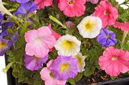 Stock Photo of colorful flowers of petunia fill the frame