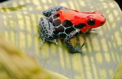 Red poison arrow frog Stock Photos
