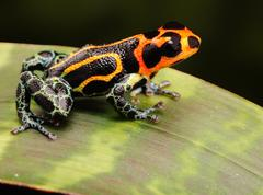 tropical poison frog - stock photo