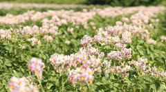 Potato Field Blossoms Stock Footage