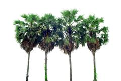 palm in thailand - stock photo