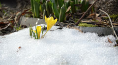 Saffron crocus yellow bloom first spring flowers between snow Stock Footage
