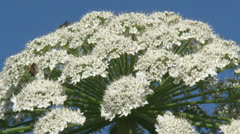 Giant hogweed in bloom - extreme close up Stock Footage