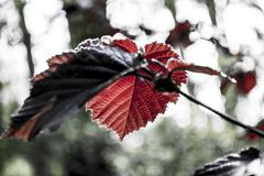 red leaves - stock photo