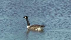 Wildlife Canada goose swimming on a lake Stock Footage