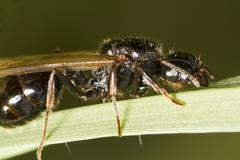 harvester ant (messor barbarus) - stock photo