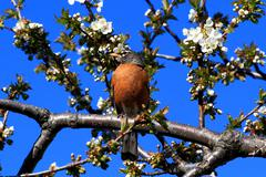 Robin bird and blooming cherry tree. Stock Photos