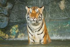 tiger,wild cat in the jungle - stock photo