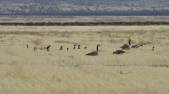 Geese and ducks bed down for night in field Stock Footage