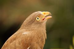 Buzzard,rufous-winged buzzard Stock Photos