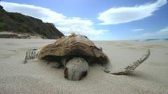 Dead Turtle in Beach Sand GFHD Stock Footage