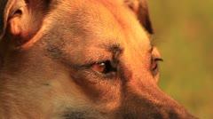 Dog CU Eyes Stock Footage