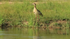Egyptian Goose at Water's Edge GFHD Stock Footage