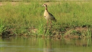 Stock Video Footage of Egyptian Goose at Water's Edge GFHD