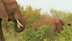Elephant Matriarch eating with herd behind GFHD Stock Footage