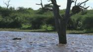 Stock Video Footage of Hippo near Tree in Water GFHD