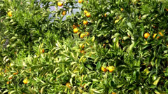 Orange tree with a fruit Stock Footage