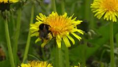 Bumblebee gathering pollen tracking Stock Footage