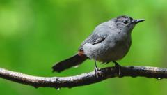 Gray Catbird Closeup Stock Footage
