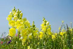 Yellow snapdragon flowers under blue sky Stock Photos