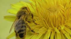 Honey bee extreme closeup side Stock Footage
