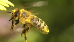 Honey bee hovering extreme closeup Stock Footage