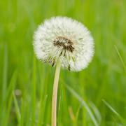 dandelion hawkbit with a green background - stock photo