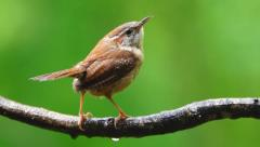 Wren closeup landing on a branch Carolina Stock Footage