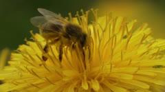 Honey bee gathering pollen extreme closeup Stock Footage
