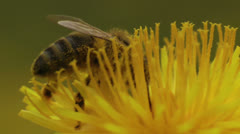 Honey bee gathering pollen extreme closeup Stock Footage