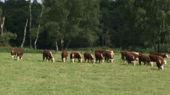 Hereford cattle grazing and moving in pasture Stock Footage