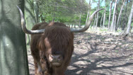 Stock Video Footage of Scottish Highlanders CU