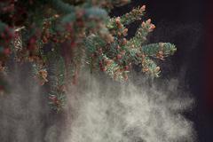 Black spruce tree releasing pollen Stock Photos
