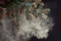 black spruce tree releasing pollen - stock photo