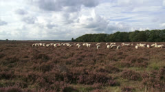Flock of sheep grazing in blooming heath landscape- pan Stock Footage