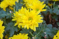 yellow chrysanthemum. - stock photo