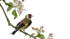 european goldfinch perched on an apple tree branch - stock footage