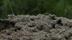 Busy Ant Hill Stock Footage